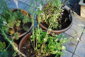 My first herb garden, thanks to Dan